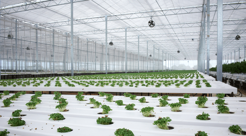 Large-scale commercial glasshouses